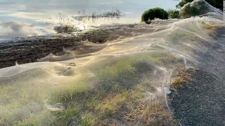 شاهد.. شبكات عناكب عملاقة تغطي مناطق في أستراليا