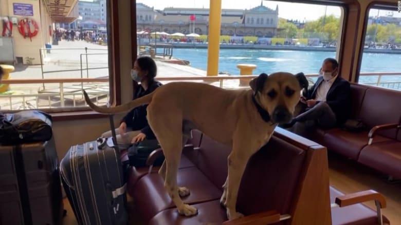 كاميرا ترصد كلبا يستخدم وسائل النقل بمفرده للتنزه يوميًا في أسطنبول