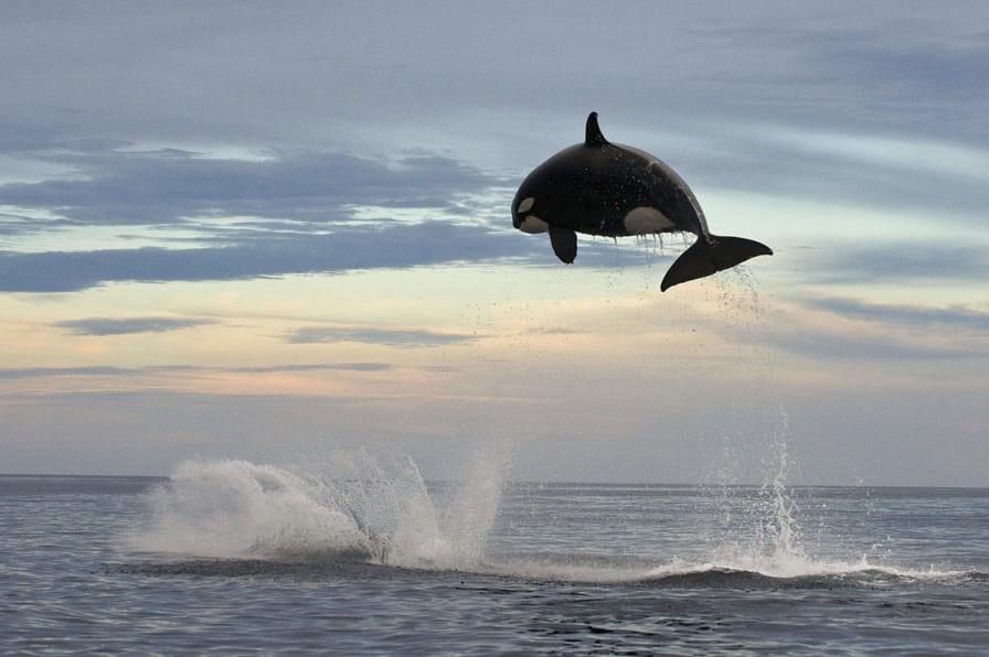 """""""مطاردة حتى النهاية"""".. حوت قاتل يفترس دلفين بقفزة مذهلة في المكسيك"""