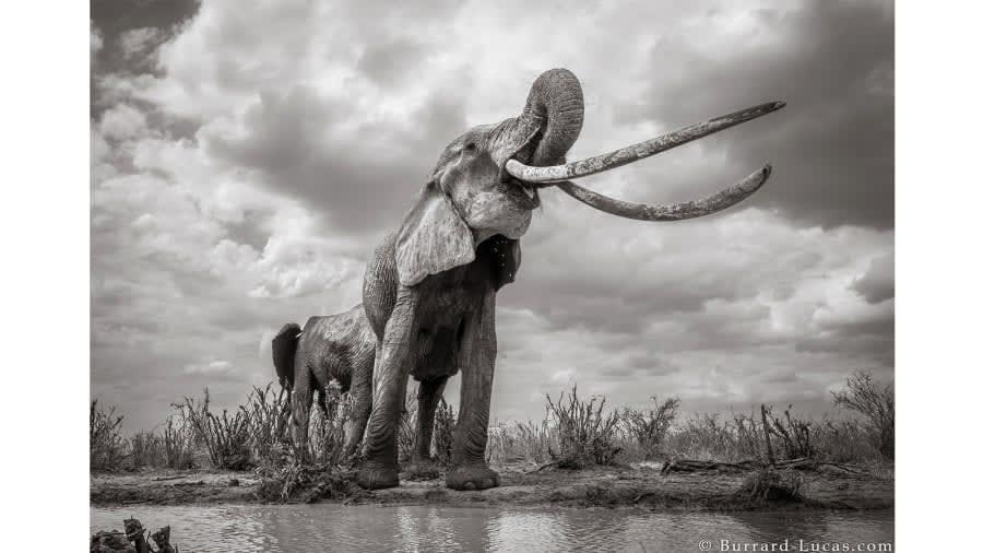 """""""ملكة الفيل"""""""