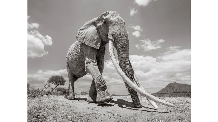 """صور لا تصدق لـ """"ملكة الفيل"""" النادرة في كينيا"""