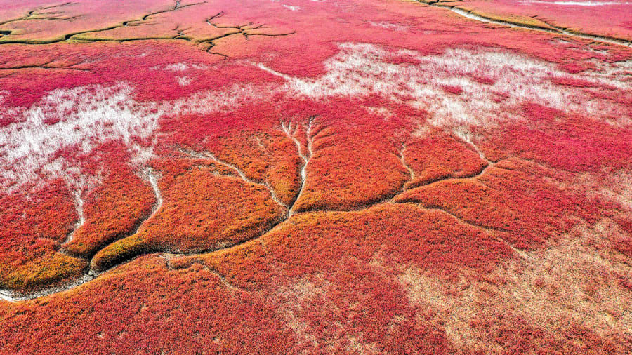 """""""الشاطئ الأحمر"""" في الصين..لوحة نادرة من المناظر الطبيعية القرمزية"""