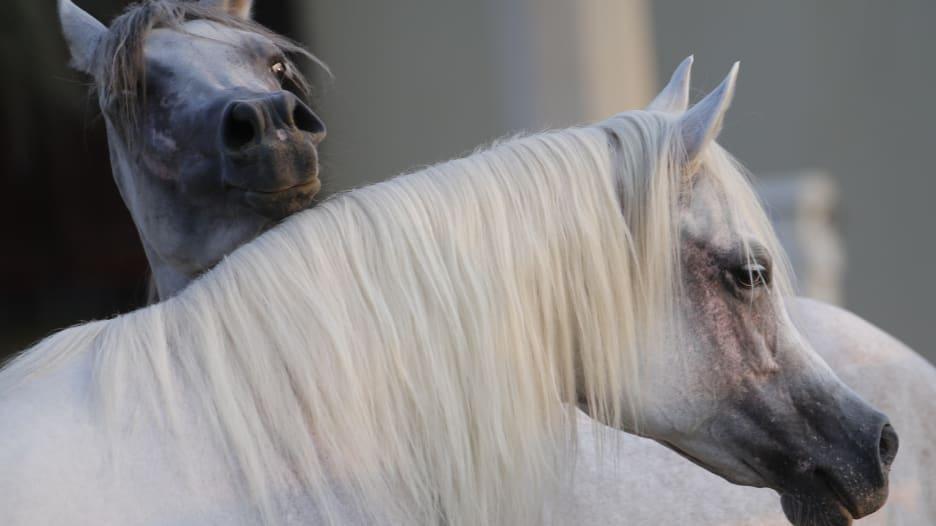 شاهد.. خيول مصر تعود إلى الخليج