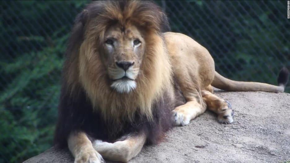لبؤة تقتل والد أشبالها الثلاثة داخل حديقة حيوانات