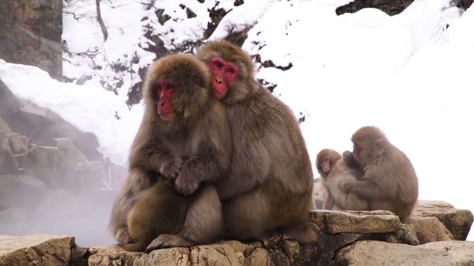 وسط الفقاعات.. قردة تسترخي في ينابيع اليابان هرباً من الشتاء