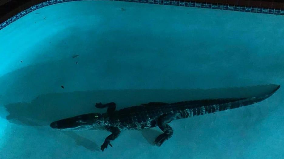 """تمساح ضخم يمارس """"الغطس الحر"""" بمسبح عائلة في أمريكا"""
