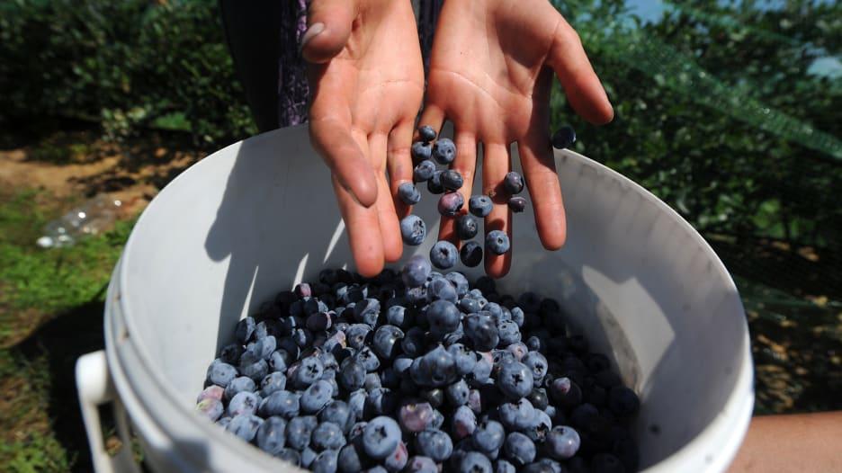 التوت الأزرق يحسن وظائف الدماغ وضغط الدم