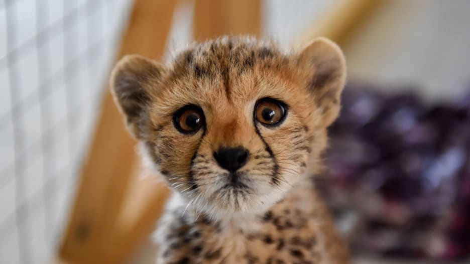 حصري لـCNN.. تهريب الفهود إلى أثرياء الخليج يهدد بانقراضها