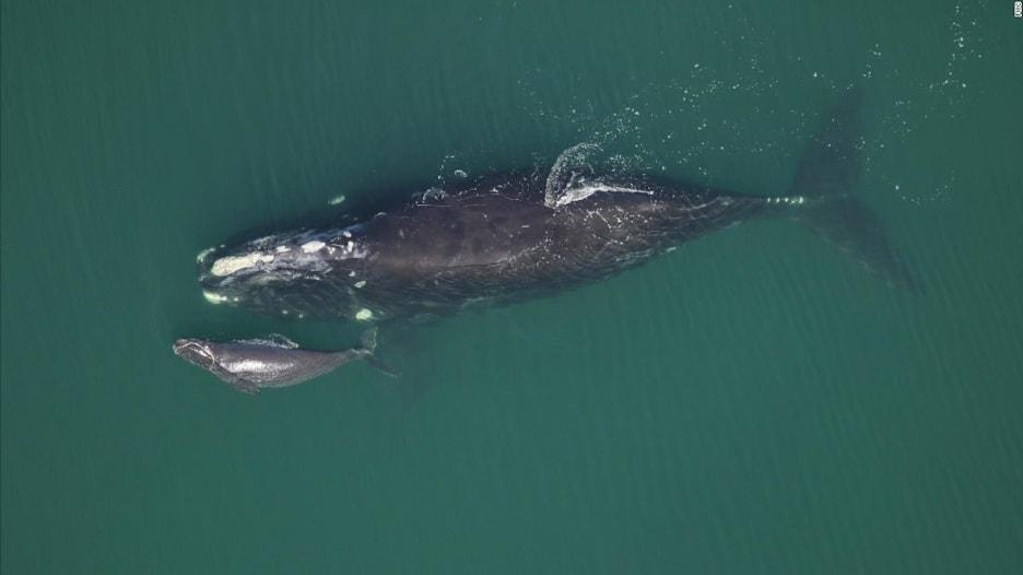 دراسة تحذر من خطر انقراض هذا الحوت