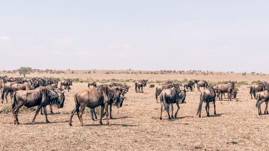 قطيع من الحيوانات في كينيا