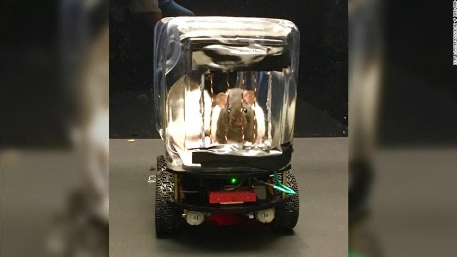 فئران تتعلم قيادة السيارات في تجربة علمية عن الصحة العقلية