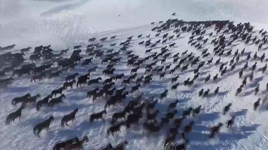 """""""خيول الجنة"""" تركض سويًا فوق الثلوج في الصين"""