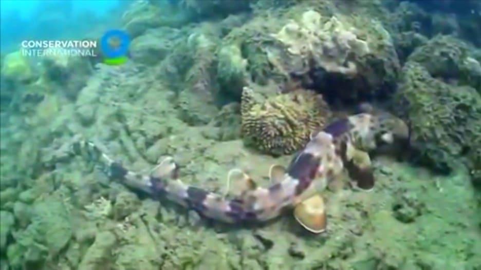 علماء يكتشفون نوعاً جديداً من سمك القرش يستطيع المشي