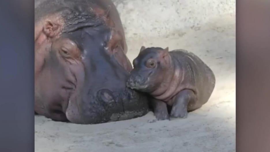 مولود فرس نهر يزن 45 كيلوغراما في حديقة حيوان.. فما اسمه؟