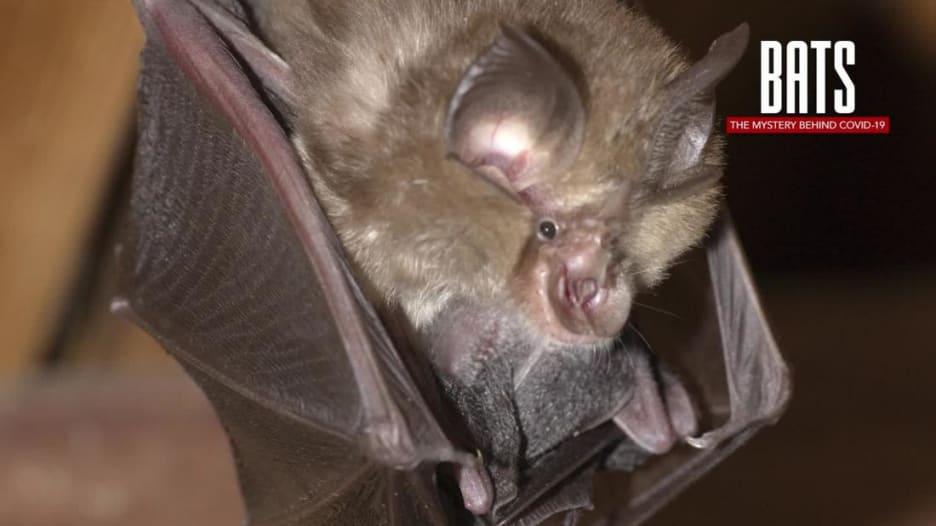 هذا هو الخفاش الذي يؤمن العلماء أنه نشر فيروس كورونا إلى العالم
