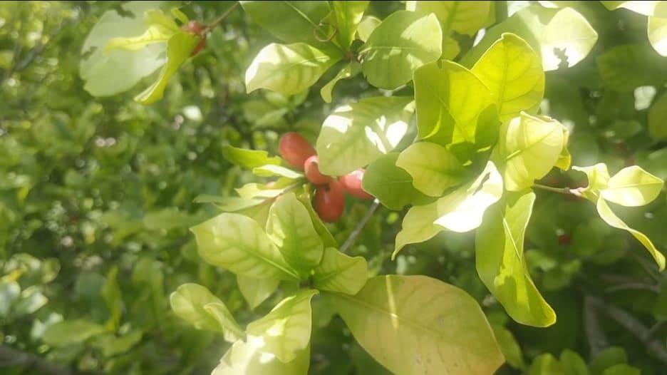 """هذه """"الفاكهة المعجزة"""" يمكنها استعادة براعم التذوق في حالة الإصابة بفيروس كورونا"""