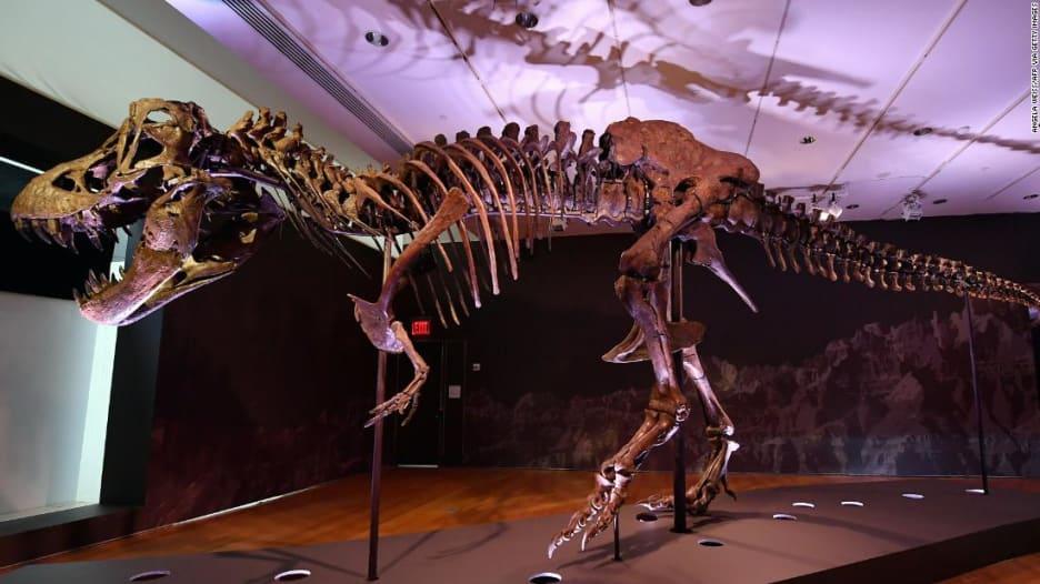 شاهد.. هيكل عظمي لديناصور عملاق انقرض قبل 67 مليون عام معروض للبيع