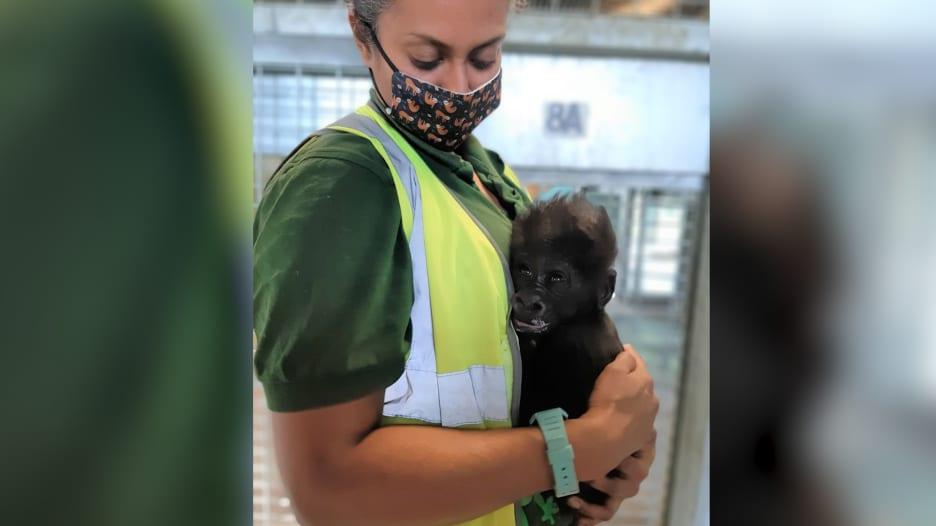 شاهد كيف يرعى حراس حديقة الحيوانات صغير الغوريلا بعد معاناة أمه