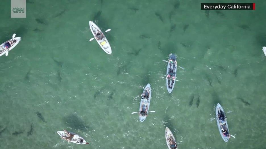 شاهد.. قوارب كاياك في بحر من أسماك القرش