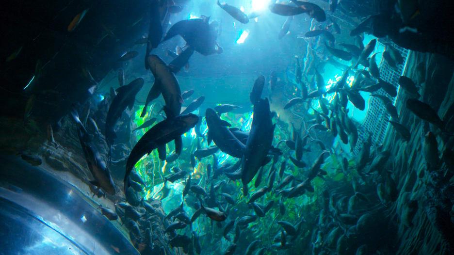 الغوص بين أسماك البيرانا في دبي