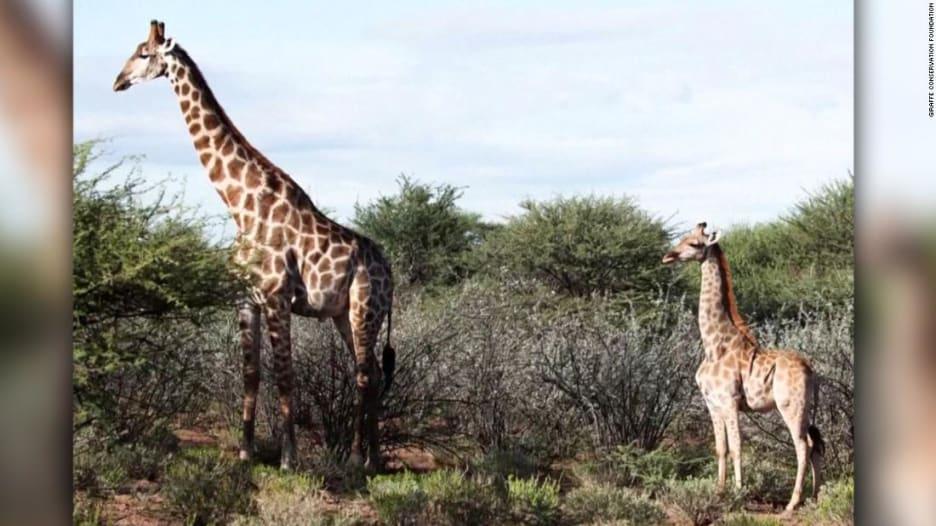 اكتشاف أثار دهشة العلماء.. رصد زرافتان قزمتان في أفريقيا لأول مرة