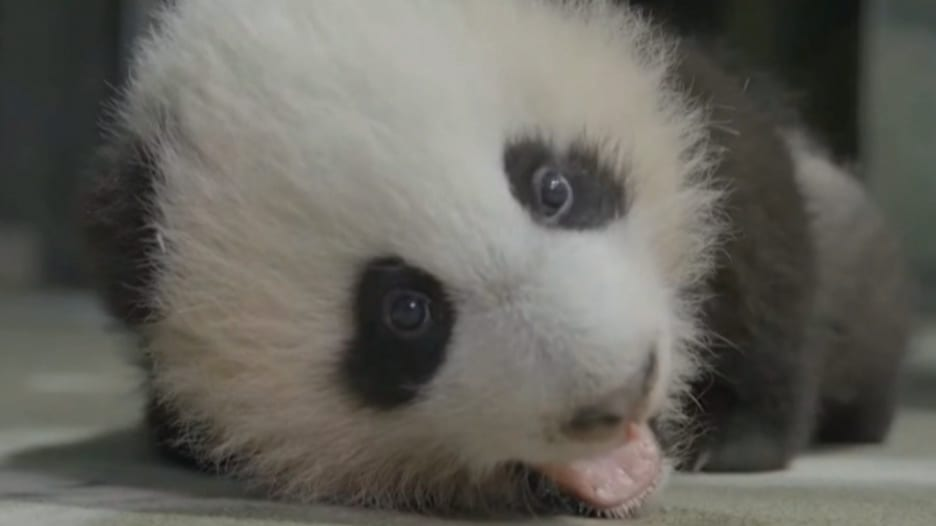 وقع في حبه العالم.. شاهد اللقاء الافتراضي الأول لشبل الباندا وهو يأكل البطاطا الحلوة