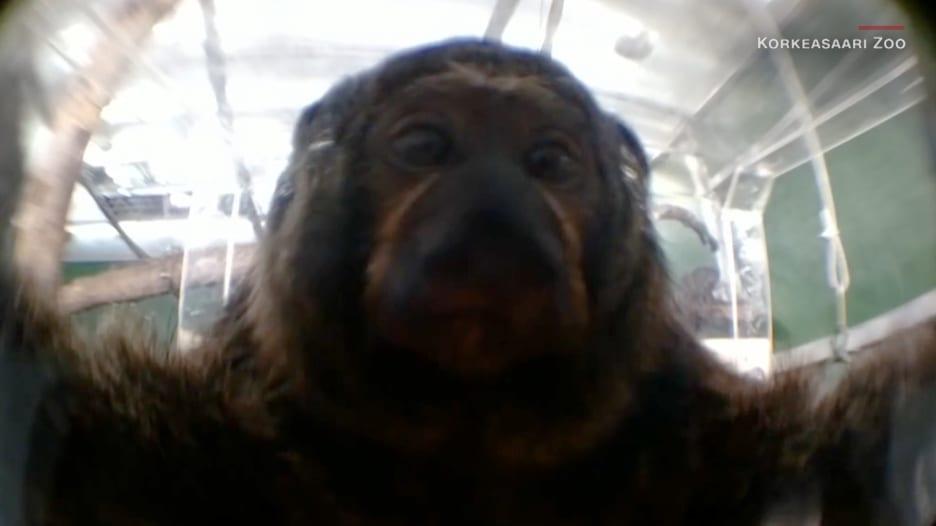 """""""نتفليكس للقرود"""".. كيف تفاعلت قرود في حديقة حيوانات مع شاشة لعرض الفيديوهات؟"""