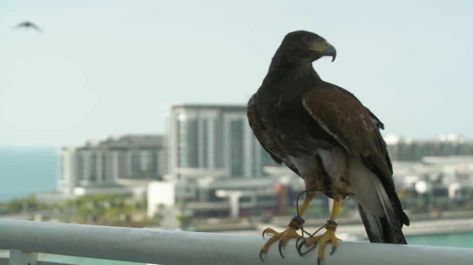 مطاردة على أسطح المباني الشاهقة في دبي..صقور تلحق بالغربان والحمام