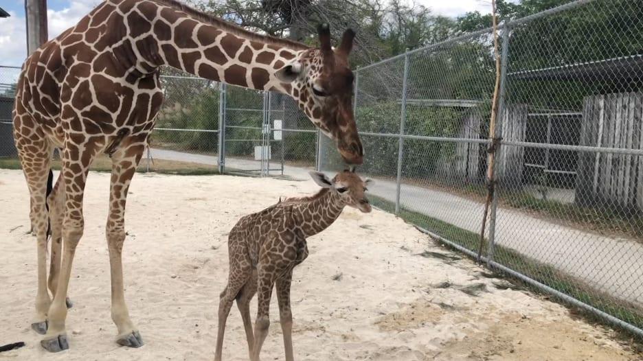 طوله 6 أقدام.. عجل زرافة حديث الولادة يستكشف محيطه لأول مرة في حديقة حيوانات