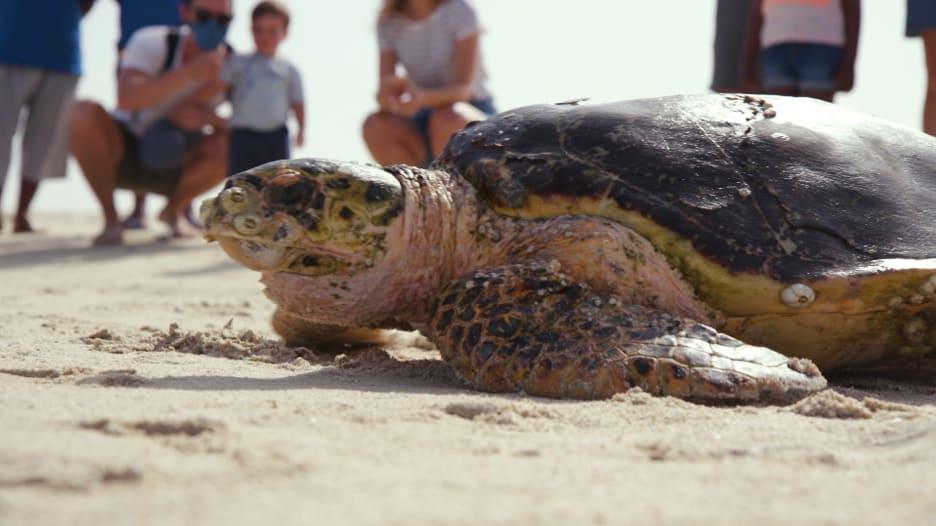 شاهد.. عمليات إنقاذ سلاحف منقار الصقر المهددة بالانقراض في دبي