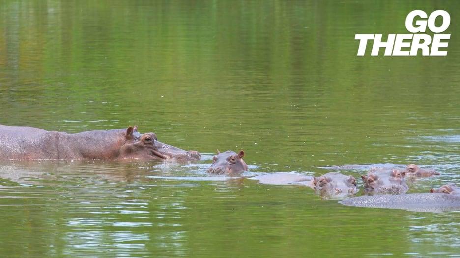 """""""وحوش"""" مائية غريبة..أفراس نهر زعيم المخدرات الشهير بابلو إسكوبار تسبح بحرية في كولومبيا"""
