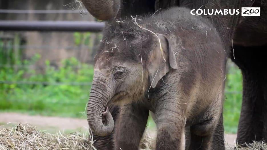 حديقة حيوانات في أوهايو تقيم حفل الكشف عن اسم عجل فيل بالغ من العمر 9 أسابيع.. ماذا سمته؟