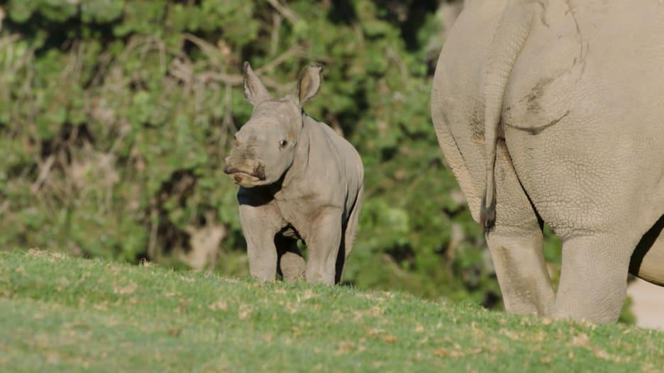 شاهد..أنثى نادرة من وحيد القرن الأبيض تُولد في حديقة حيوانات في أمريكا