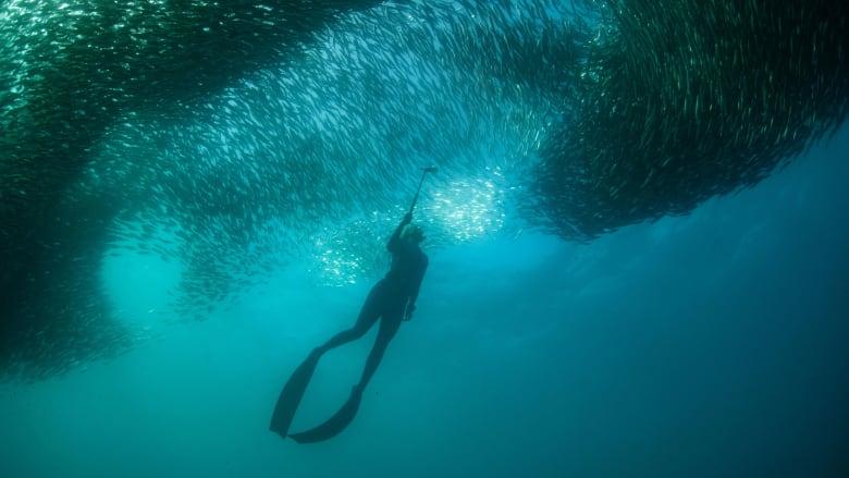 """هجرة السردين.. هذه جهود حماية """"أعظم عرض بحري على وجه الأرض"""""""