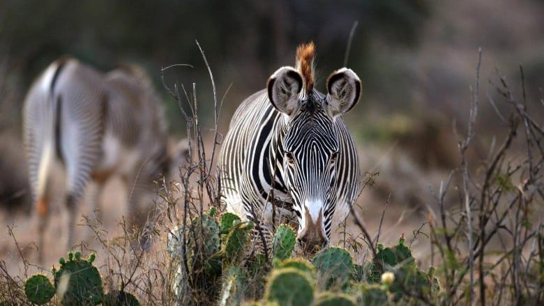 جميلة ومذهلة.. تعرف إلى هذا النوع من الحمير الوحشية المهددة بالانقراض في كينيا
