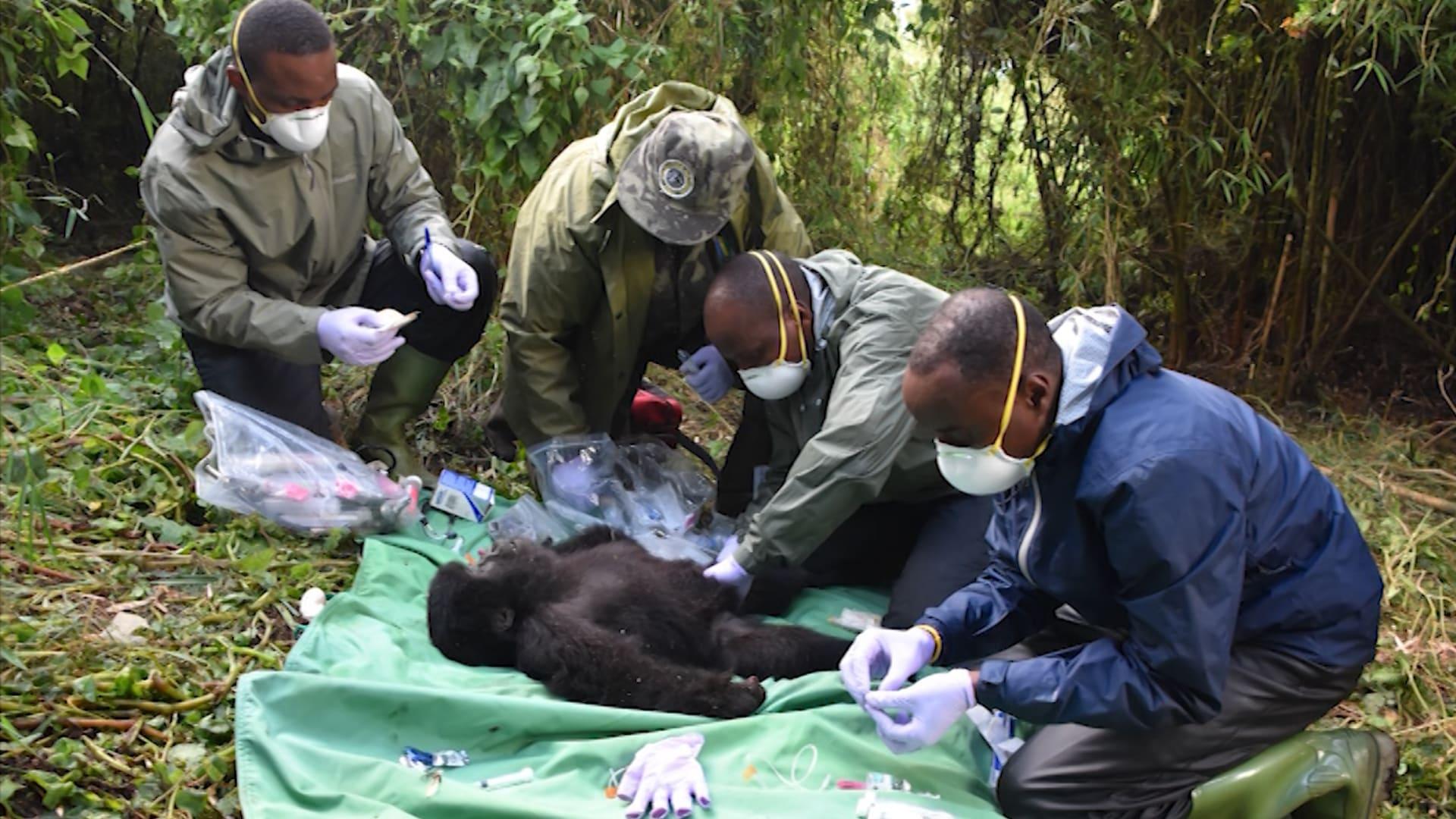"""تعرف إلى """"أطباء الغوريلا"""" الذين يعتنون بالقردة المهددة بالانقراض في رواندا"""