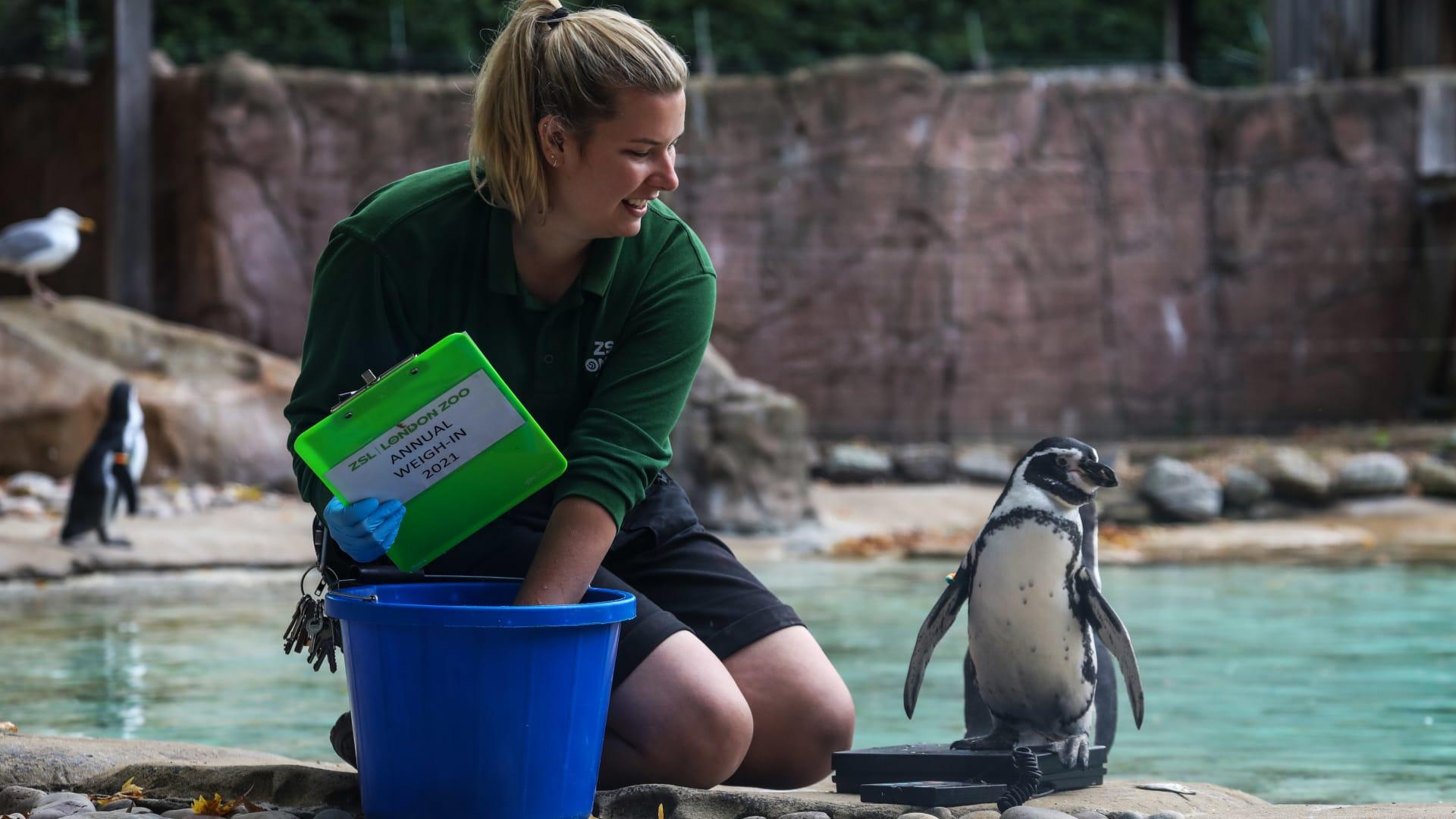 يلجأ حراس حديقة حيوانات بلندن لحيل مبتكرة لأخذ قياسات نزلائهم الظرفاء