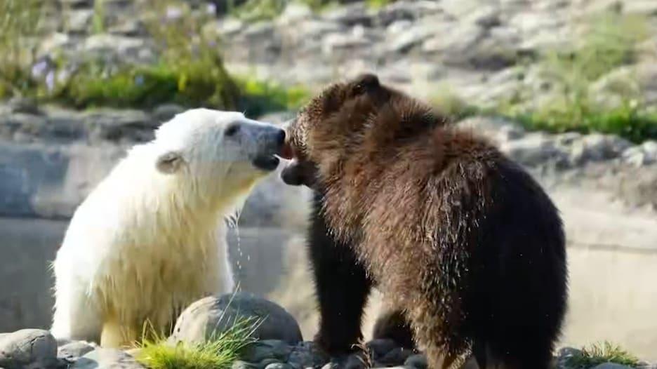 """شاهد.. """"ألطف"""" صداقة بين صغيرين يتيمين من الدببة في حديقة حيوانات أمريكية"""
